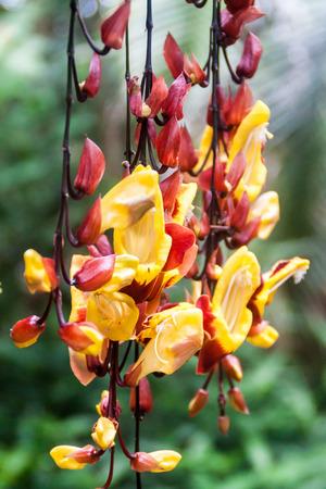 orchidea: Orchidea in a garden in Mindo, Ecuador