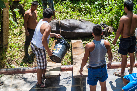 boat crew: NAPO, PERU - JULY 16, 2015: Cargo boat crew transports a cow to the boat deck. Cargo boat Arabela I plies river Napo. Stock Photo