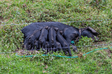motherly: Small pigs and their mother in rural area of Ecuador Stock Photo