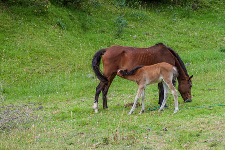 Brown horse is breastfeeding a foal on the green lush meadow