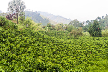 Coffee plantation near Manizales, Colombia 版權商用圖片