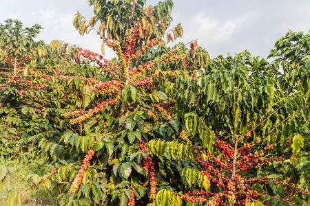 Coffee plantation near Manizales, Colombia 写真素材