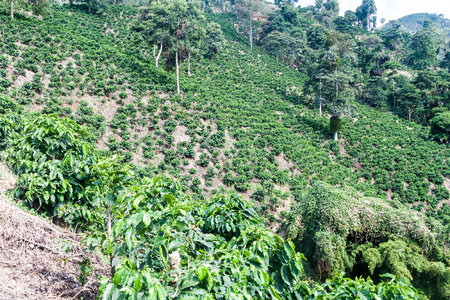 unpicked: Coffee plantantion near Manizales, Colombia