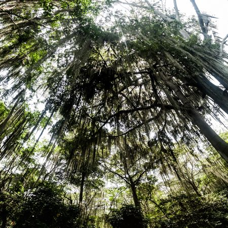 viejo: Trees covered by Spanish moss (Tillandsia usneoides) callled also Barba de Viejo (Old Mans Beard) in El Gallineral park in San Gil, Colombia Stock Photo