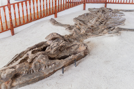 Fossilised specimen of Kronosaurus in El Fosil museum near Villa de Leyva in Colombia