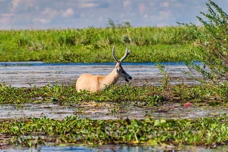 corrientes: Marsh deer (Blastocerus dichotomus) in Esteros del Ibera, Argentina