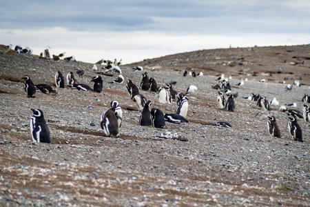 Colony of Magellanic Penguins (Spheniscus magellanicus) on Isla Magdalena in the Strait of Magellan, Chile. Stock Photo