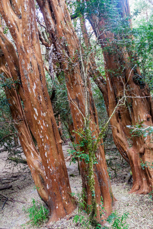 View of a forest of Arrayan trees (Luma apiculata - Chilean Myrtle) near Bariloche, Argentina