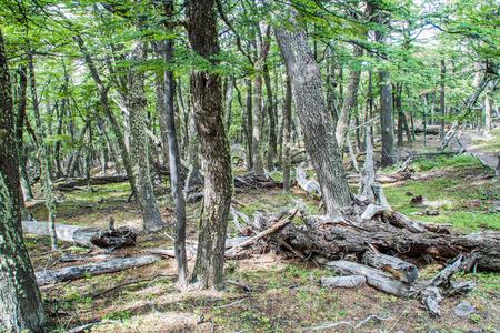 los glaciares: Forest in National Park Los Glaciares, Patagonia, Argentina Stock Photo