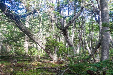 fuego: Forest in National Park Tierra del Fuego, Argentina