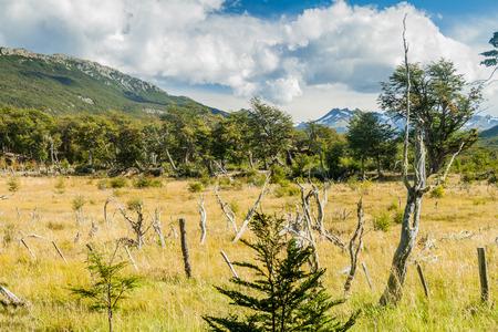 fuego: Dead forest in National Park Tierra del Fuego, Argentina Stock Photo