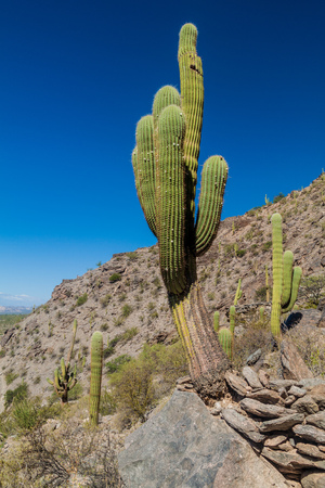 Big cacti near Quilmes ruins, Argentina Stock Photo