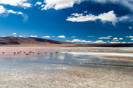 Flamingos in Laguna Colorada lake on bolivian Altiplano