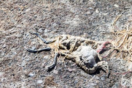 borax: Dead flamingo on a coast of Laguna Colorada lake on bolivian Altiplano