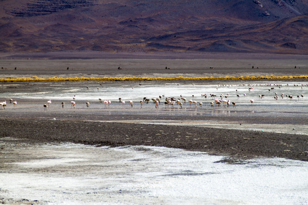 lipez: Flamingos in Laguna Colorada lake in Bolivia