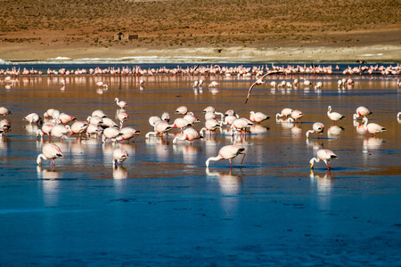 nacional: Laguna Collpa lake in Reserva Nacional de Fauna Andina Eduardo Avaroa protected area is full of flamingos, Bolivia Stock Photo