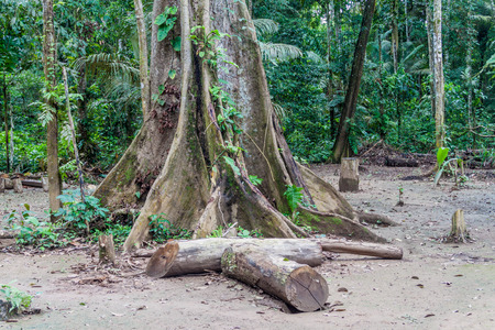 humid south: Big tree in a jungle camp in Madidi National Park, Bolivia