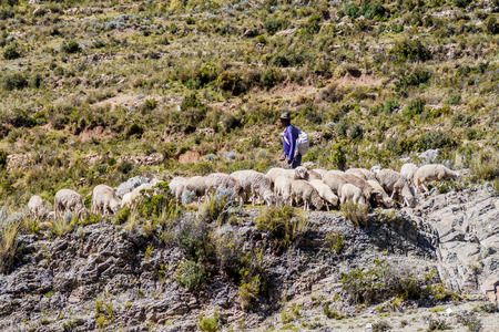 herdsman: ISLA DEL SOL, BOLIVIA - MAY 12, 2015: Herdsman with a herd of sheep at Isla del Sol (Island of the Sun) in Titicaca lake, Bolivia Editorial