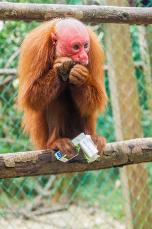sciureus: PADRE COCHA, PERU - JUNE 19, 2015: The bald uakari monkey (Cacajao calvus) eats stolen cigarettes in Amazon Animal Orphanage Pilpintuwasi in village Padre Cocha near Iquitos, Peru