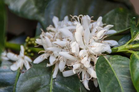 arbol de cafe: Detalle de la flor del �rbol de caf� Foto de archivo