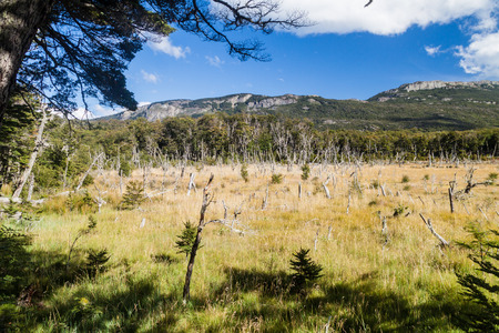 Dead forest in National Park Tierra del Fuego, Argentina Stock Photo