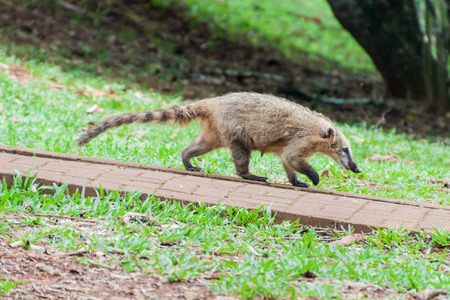 Coati at Iguacu (Iguazu) falls on a border of Brazil and Argentina