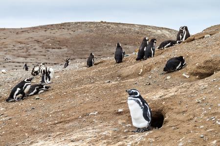 magdalena: Magellanic Penguin colony on Isla Magdalena island in Magellan Strait, Chile Stock Photo