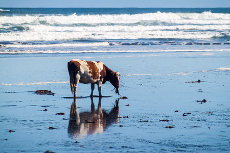 sea weed: Cow eats a sea weed on a beach in Chiloe National Park, Chile Stock Photo