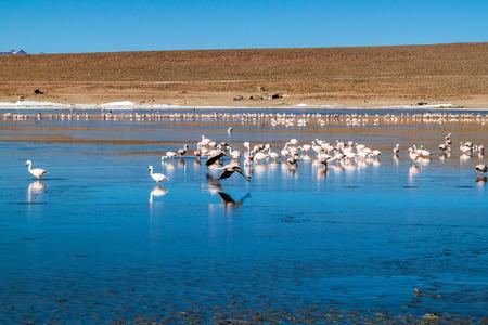 avaroa: Laguna Collpa lake in Reserva Nacional de Fauna Andina Eduardo Avaroa protected area is full of flamingos, Bolivia Stock Photo