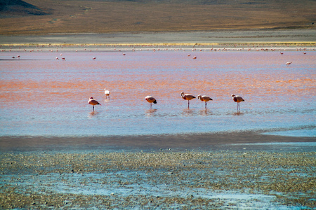 Flamingos in Laguna Colorada lake in Bolivia