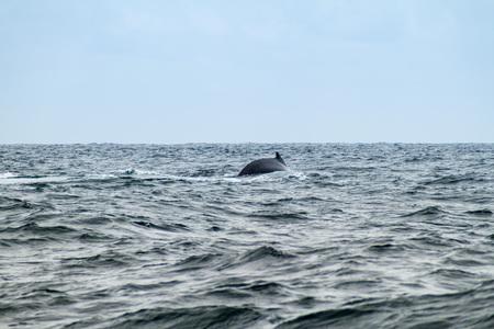 megaptera novaeangliae: Humpback whale (Megaptera novaeangliae)  in Machalilla National Park, Ecuador
