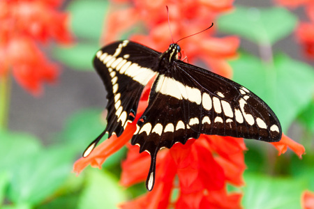 The King Swallowtail butterfly (Papilio thoas) in Mariposario (The Butterfly House) in Mindo, Ecuador