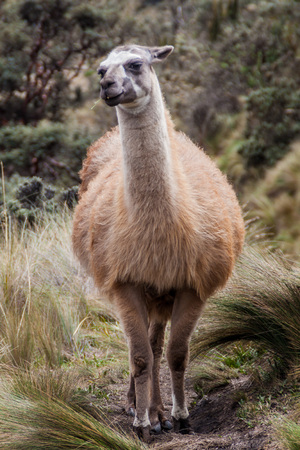 Llama in National Park Cajas, Ecuador Stock Photo