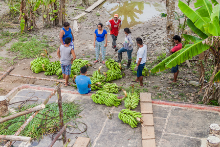 plies: NAPO, PERU - JULY 14, 2015: Cargo boat crew transports bunches of plantains to the boat deck. Cargo boat Arabela I plies river Napo. Stock Photo