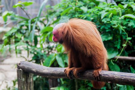 The bald uakari monkey (Cacajao calvus) in Amazon Animal Orphanage Pilpintuwasi in village Padre Cocha near Iquitos, Peru Stock Photo