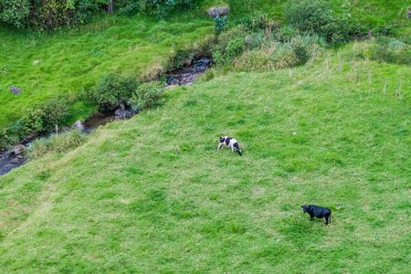 grazing cows: Grazing cows in Ecuador