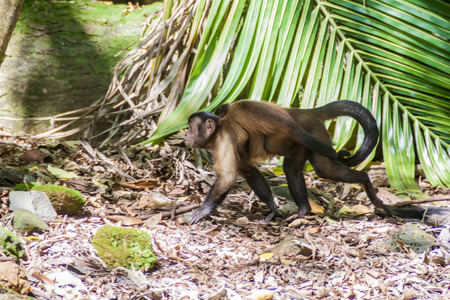 Capuchin monkey at Ile Royale, one of the islands of Iles du Salut (Islands of Salvation) in French Guiana