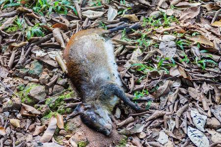agouti: Dead agouti at Ile Royale, one of the islands of Iles du Salut (Islands of Salvation) in French Guiana