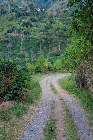 unpicked: Road through coffee plantantions near Manizales, Colombia