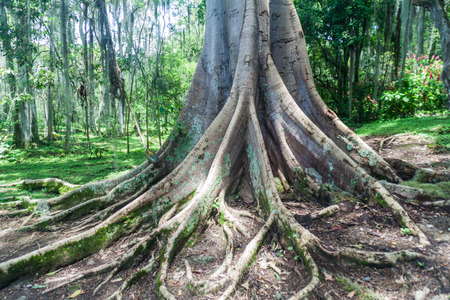Shortleaf fig, giant bearded fig or wild banyantree (Ficus citrifolia) in El Gallineral park in San Gil, Colombia Foto de archivo