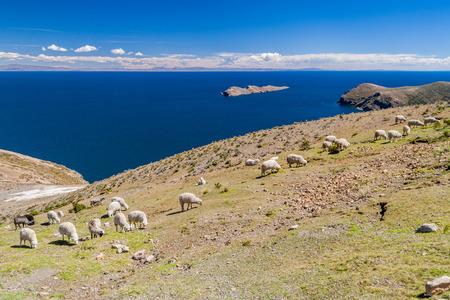 Grazing sheep at Isla del Sol (Island of the Sun) in Titicaca lake, Bolivia