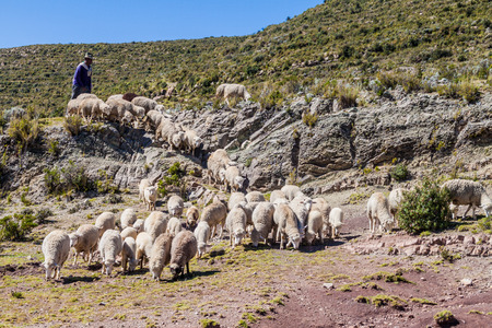 isla: ISLA DEL SOL, BOLIVIA - MAY 12, 2015: Herdsman with a herd of sheep at Isla del Sol (Island of the Sun) in Titicaca lake, Bolivia Stock Photo