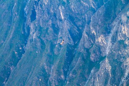 condor: Andean Condor (Vultur gryphus) in the Colca Canyon, Peru