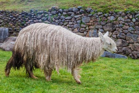 Lama graze at the ruins of Sacsaywaman near Cuzco, Peru. Stock Photo