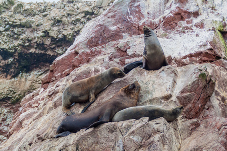 flavescens: South American Sea lions relaxing on the rocks of the Ballestas Islands in the Paracas National park, Peru. Stock Photo