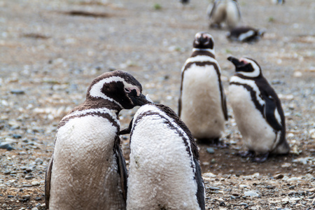 artic: Penguin colony on Isla Magdalena island in Magellan Strait, Chile