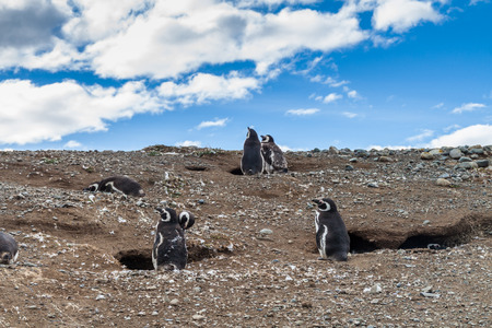 Penguin colony on Isla Magdalena island in Magellan Strait, Chile