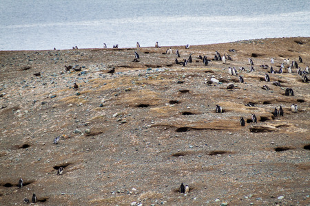 magdalena: Colony of Magellanic Penguins (Spheniscus magellanicus) on Isla Magdalena in the Strait of Magellan, Chile. Stock Photo