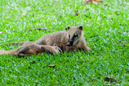 Coatis at Iguacu (Iguazu) falls on a border of Brazil and Argentina