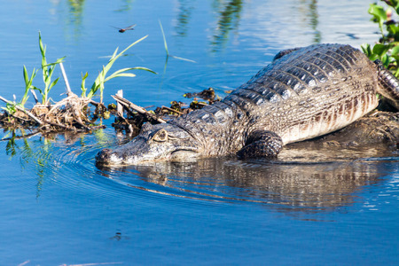 Yacare caiman (Caiman yacare)  in Esteros del Ibera, Argentina